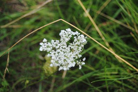 Kleine Weiße Blume, Auf Einer Wiese In Lehrte, Am 1303