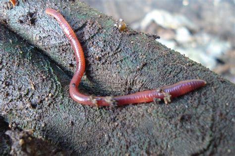 worm earthworms compost gallon bucket farm