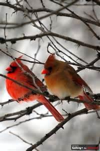 Male and Female Cardinal Birds