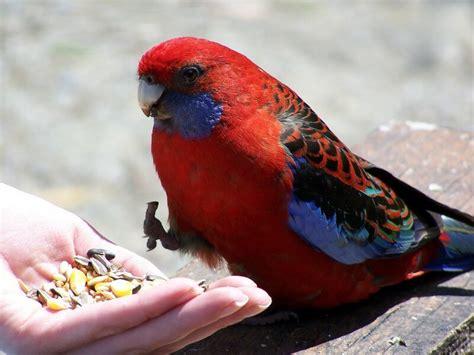 australian native birds
