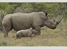 Attenborough's Ark The Sumatran Rhino Benvironment