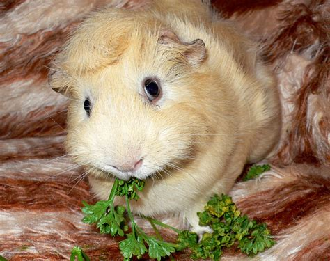 conejillo de indias wiki reino animalia fandom powered