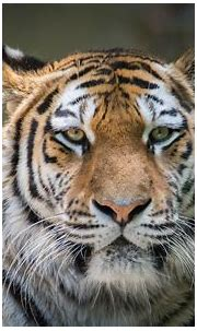 Tiger HD Wallpaper   Background Image   2048x1280   ID ...