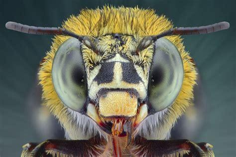 Biedējošais skaistums: mušu, bišu, lapseņu un skudru sejas tuvplānā - Skats.lv