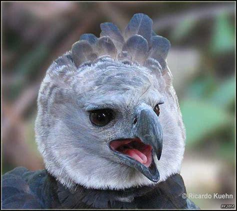 Biodiversityharpy Eagle