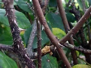 Comment Tailler Les Rosiers : taille des rosiers quand et comment tailler les rosiers ~ Nature-et-papiers.com Idées de Décoration