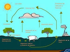 Ciclos De La Naturaleza  Diagrama Ciclo Del Carbono