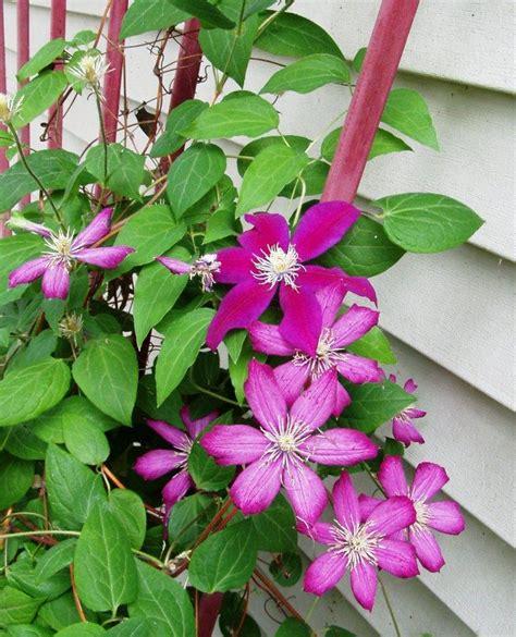 flowering vine star shaped flowering vine is called clematis
