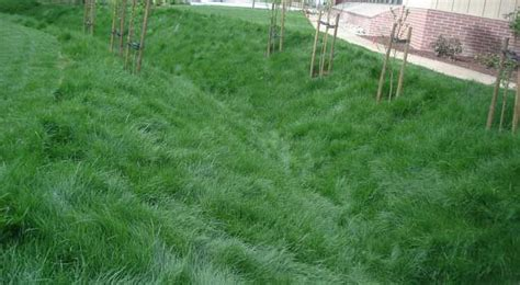 Lawn Alternatives, Ground Covers No Mow Lawn