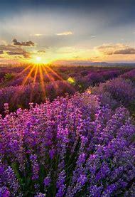 Purple Lavender Flower Field