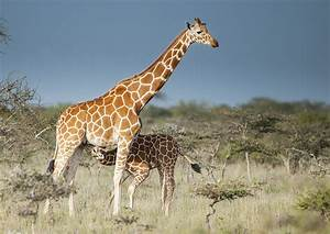Mpala Live! Field Guide: Reticulated Giraffe | MpalaLive  Giraffe