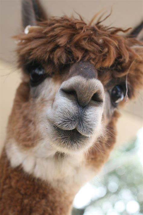 alpaca facts cute animals llama