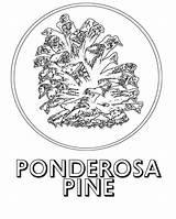 Pine Ponderosa Coloring Tree Drawing Google Getdrawings sketch template