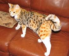 of Firestar  The Clans broke down due to corrupt rogues and rude cats      Torbie Cat