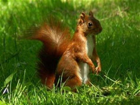 un roux en cuisine photo gratuite et libre de droits ecureuil roux sciurus vulgaris par krissdeniort