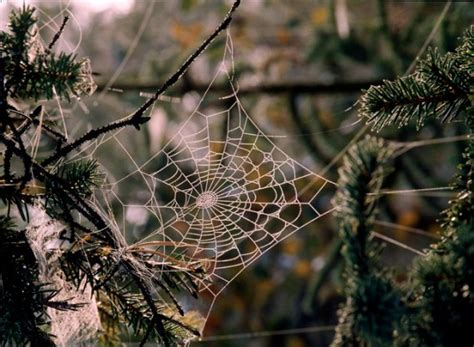 spider web christmas tradition traditions tree spider webs and home
