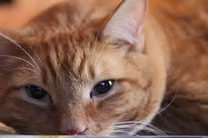 orange tiger cat matty the fairly large orange cat cats