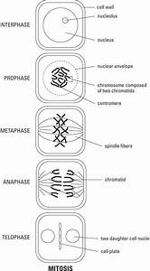 Biology  Mitosis And Meiosis  Diagrams   U2013 Helpline For Icse Students  Class 10