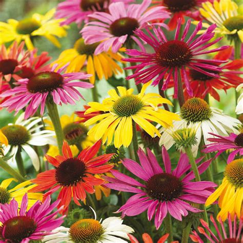 pollinator friendly perennials echinacea coneflower mixed