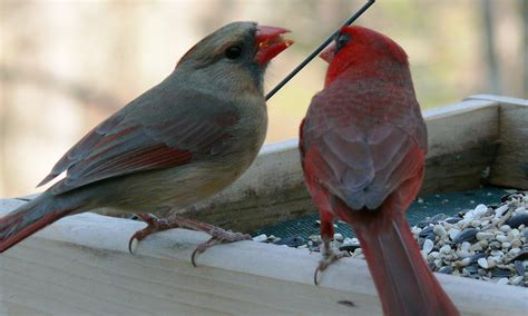 The Northern Cardinal Thinglink