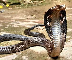 King Cobra | Snake Facts and Photos-Images | The Wildlife