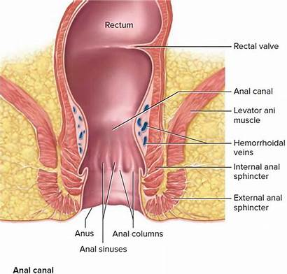 Anus Anatomy Anal Sphincter Rectum Canal Abscess