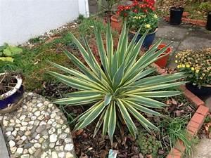 Palme Winterhart Kübel : yucca baccata seite 1 yucca agaven ~ Michelbontemps.com Haus und Dekorationen