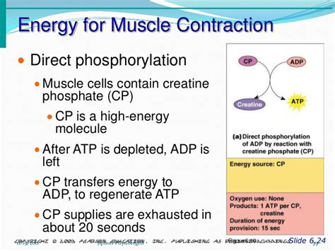 Skeletal Muscle Structure & Function