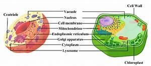 Cellular Biology  U2013 Biology Central 101