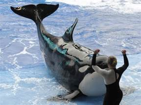 SeaWorld orcas live as long as whales in the wild, new ...