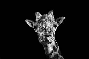 Giraffe In Black And White Photograph by Malcolm MacGregor