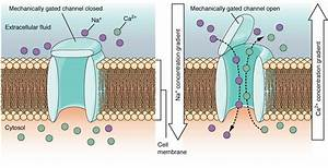 These Two Diagrams Each Show A Channel Protein Embedded In The Cell Membrane  In The Left