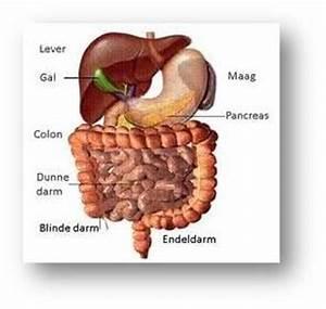 organen in je buik