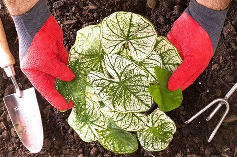 learn   plant caladium bulbs