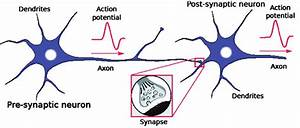 Biological Neuron And Synapse