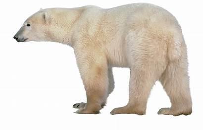 Bear Polar Transparent Starpng Saksham Pluspng Clipground