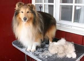 56 best ideas about sheltie shetland sheepdog on