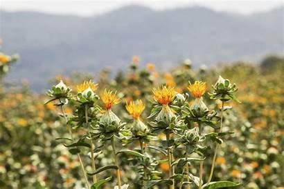 Safflower Sunflower Between Difference