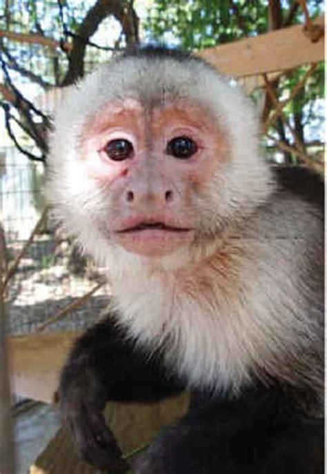 capuchin monkey pet pet capuchin monkey