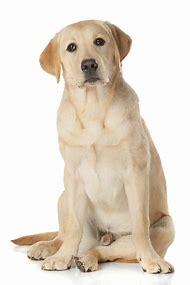 Medium Size Labrador Retriever