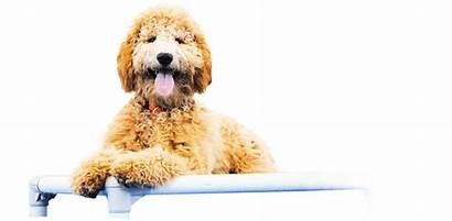Goldendoodle Golden Doodle Silhouette Dog Boot Camp