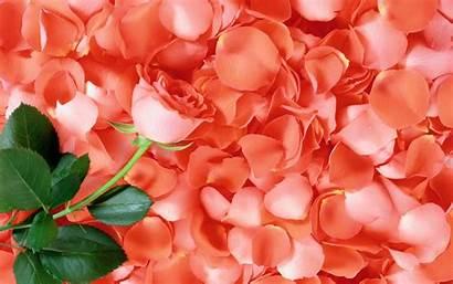 Rose Petals Pink Wallpapers Petal Flower Flowers