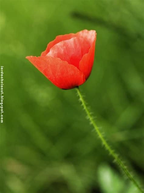 Bloggerture: Floare de mac