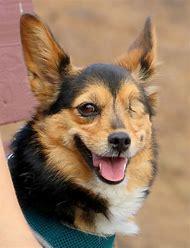 Cute Corgi Puppies Smiling