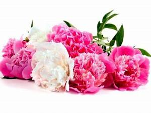 Langage Des Fleurs Pivoine : fleurs oeillets signification ~ Melissatoandfro.com Idées de Décoration