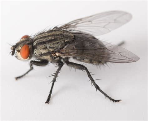 house flies indoors colonial pest control