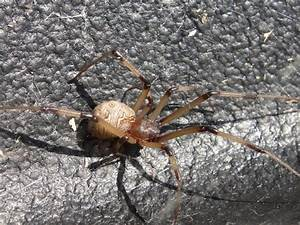 Stopping Black Widow Spiders and Brown Widow Spiders In ...
