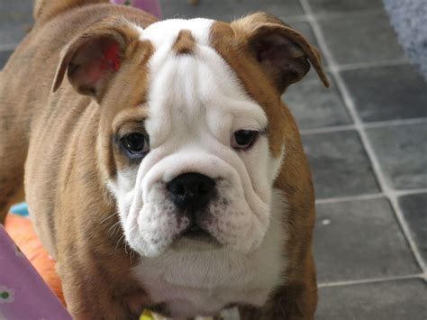 ragmarte show bulldogs quality puppies leicester