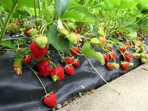 Faire Pousser Des Fraises : planter des fraisiers sur bache comment planter des fraises sans travail et entretien ma ~ Melissatoandfro.com Idées de Décoration