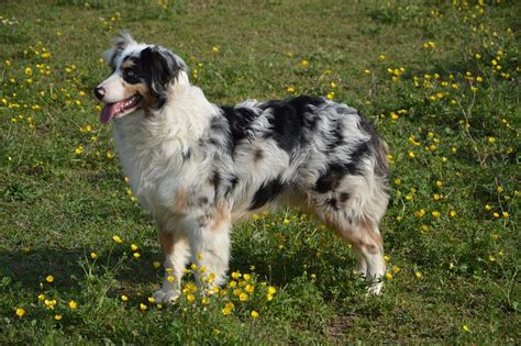 and easy hair colors herding dogs five of the best breeds to help on the farm